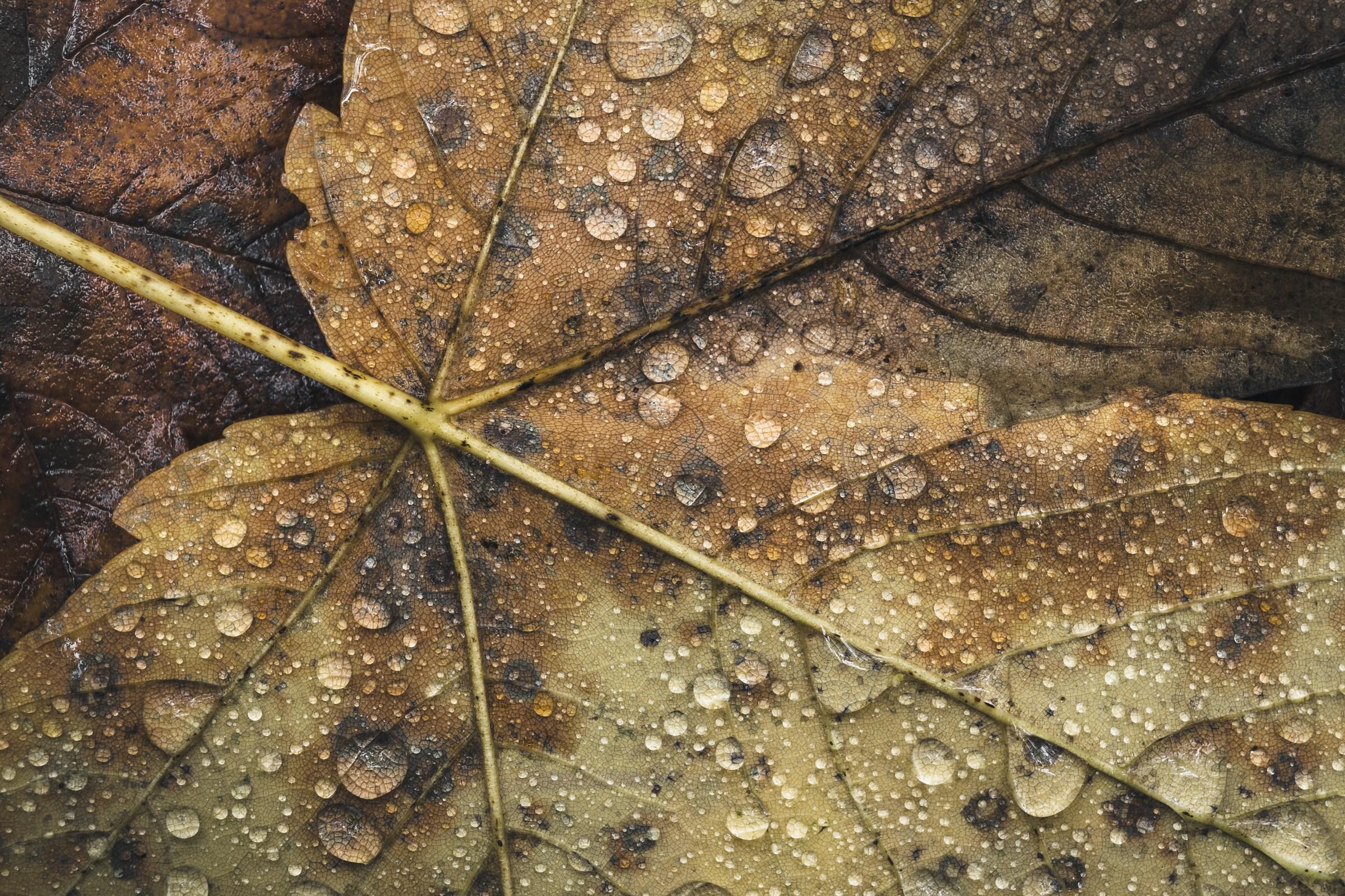 Maple leaf in morning dew