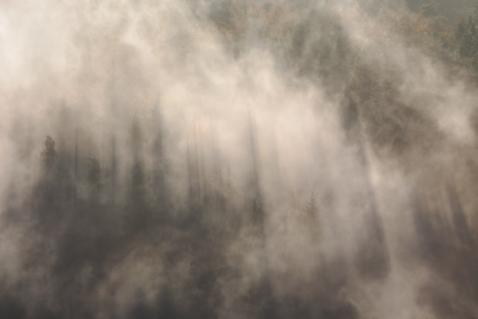 Shadows of spruce trees in heavy fog