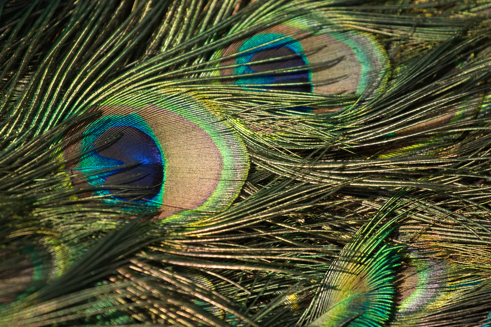 Indian peafowls plumage