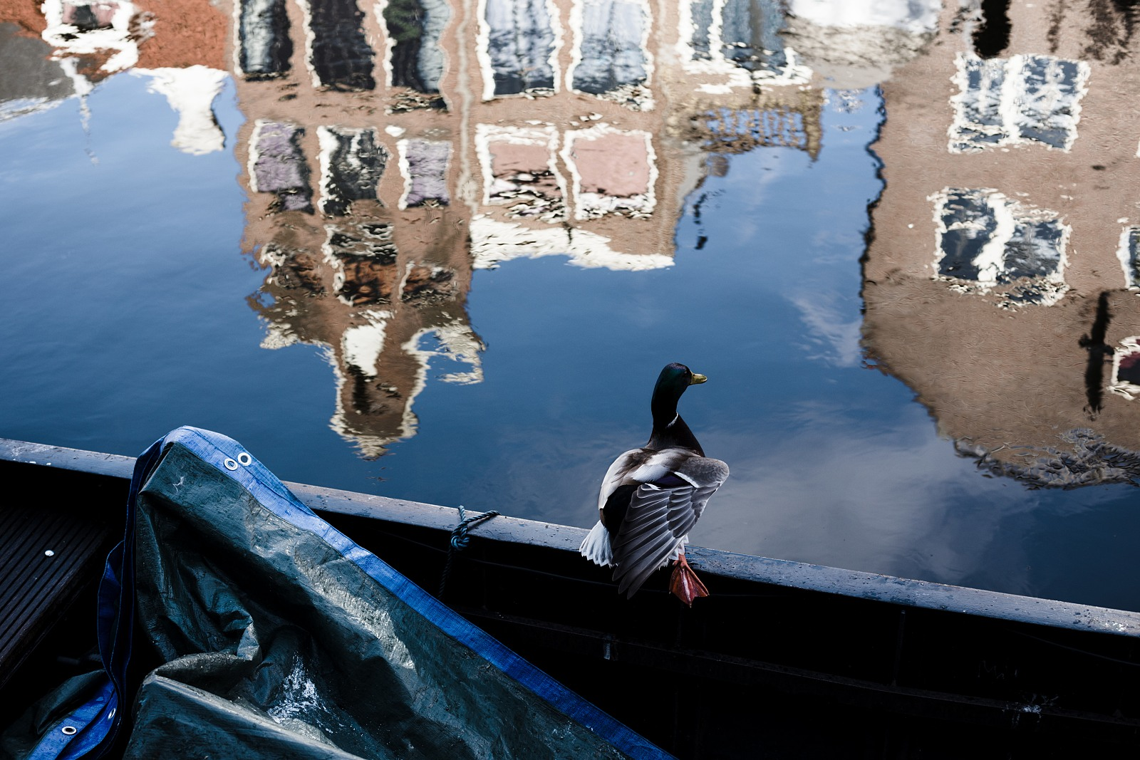 Duck in Amsterdam