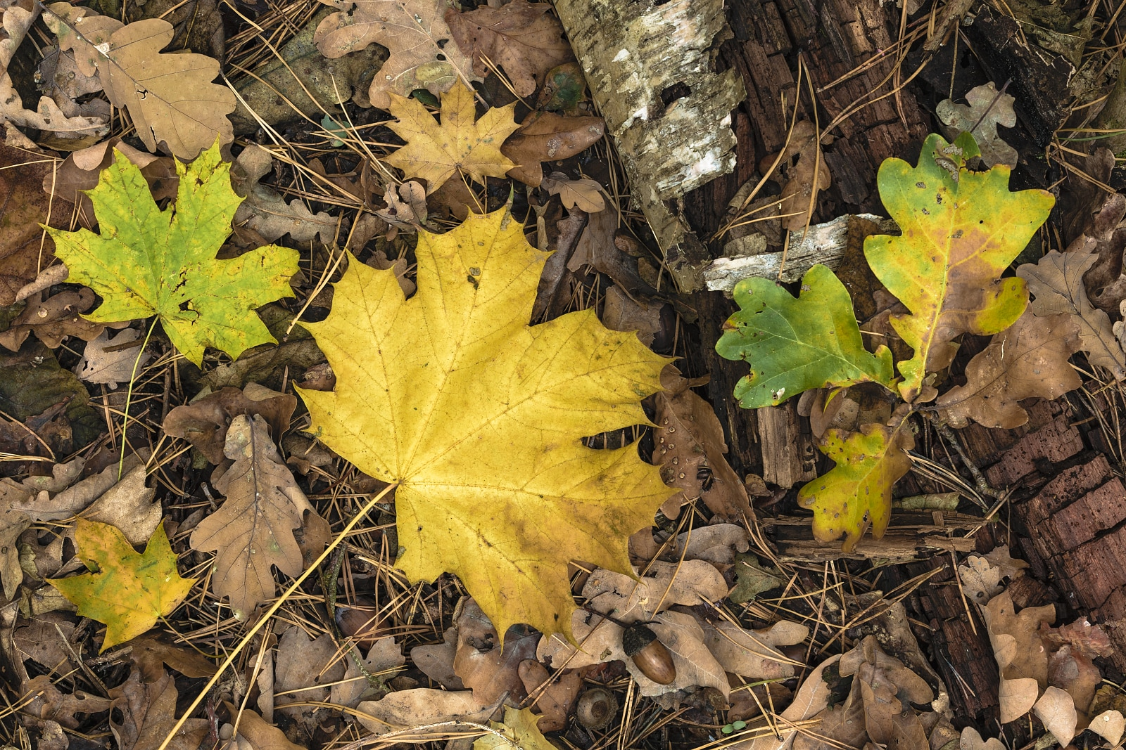 Maple and oak leaves and birch trunk