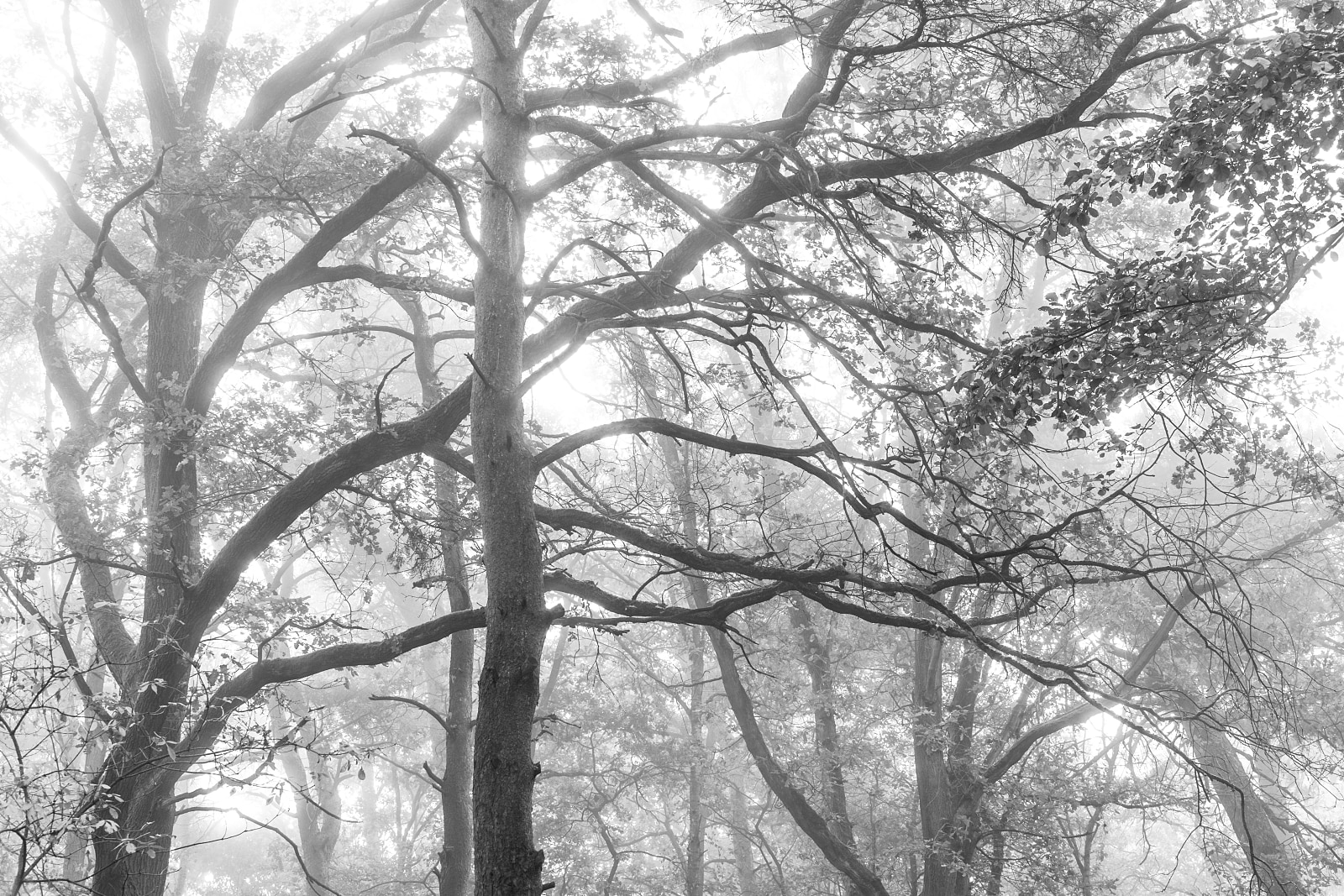 Tree branches in the morning fog