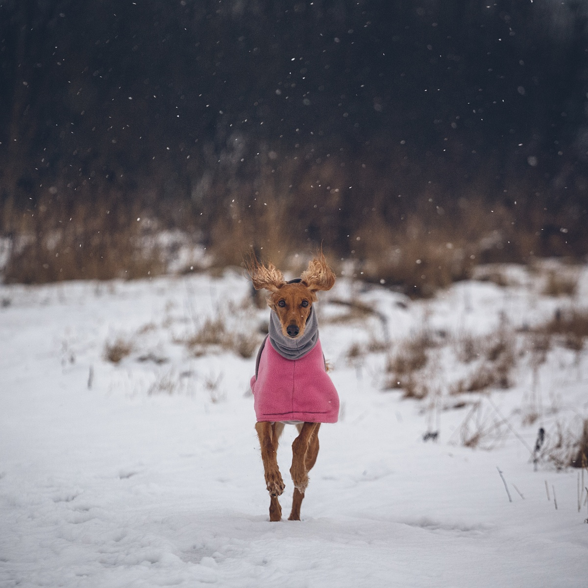Tsiri the saluki is running in the snow