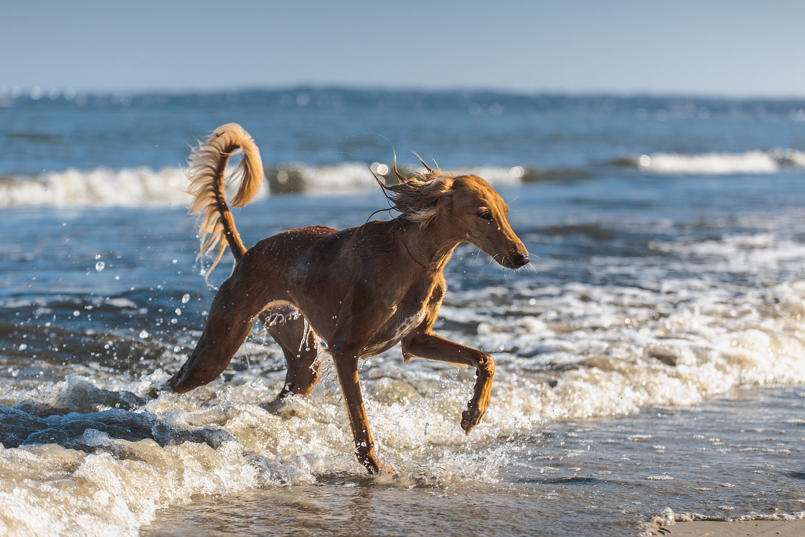 Saluki in the Sea