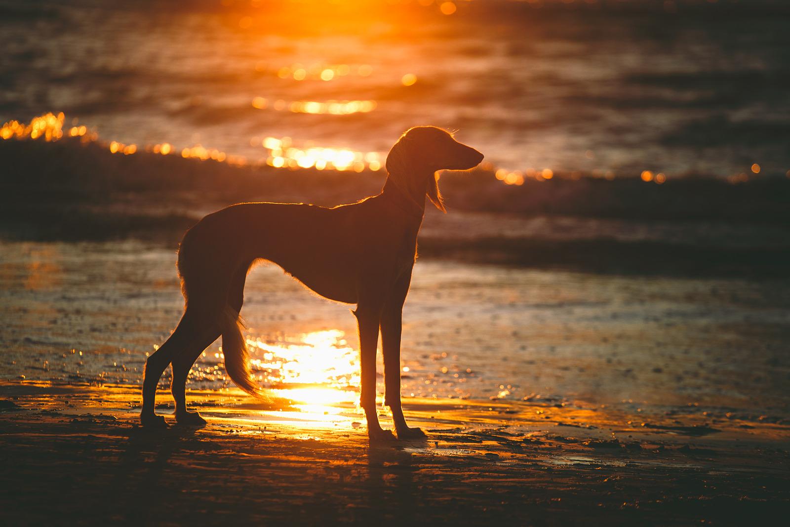 Tsirir the saluki at sunset