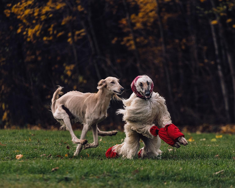 Ciyar is running after an afghan hound