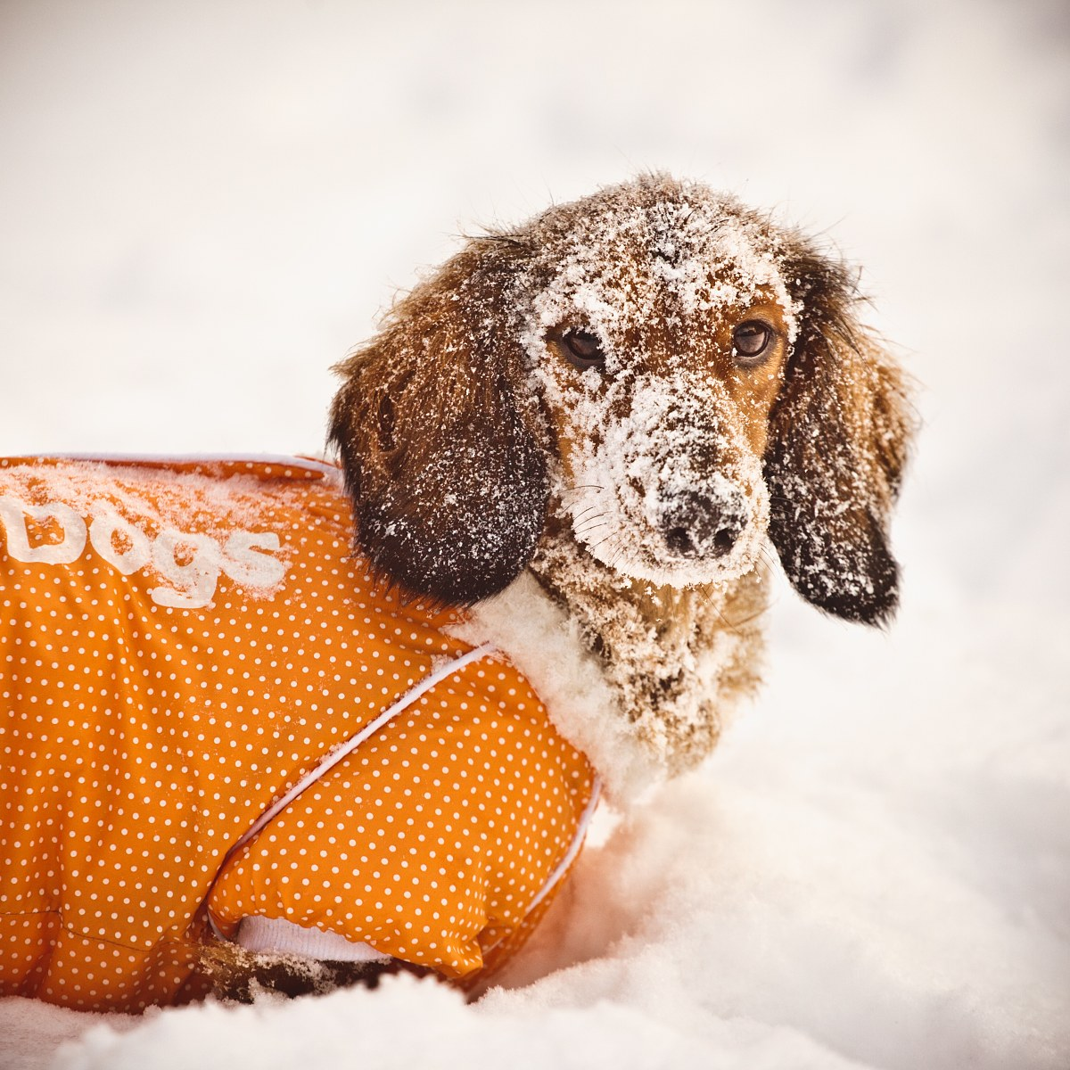 Dessi the dachshund in snow