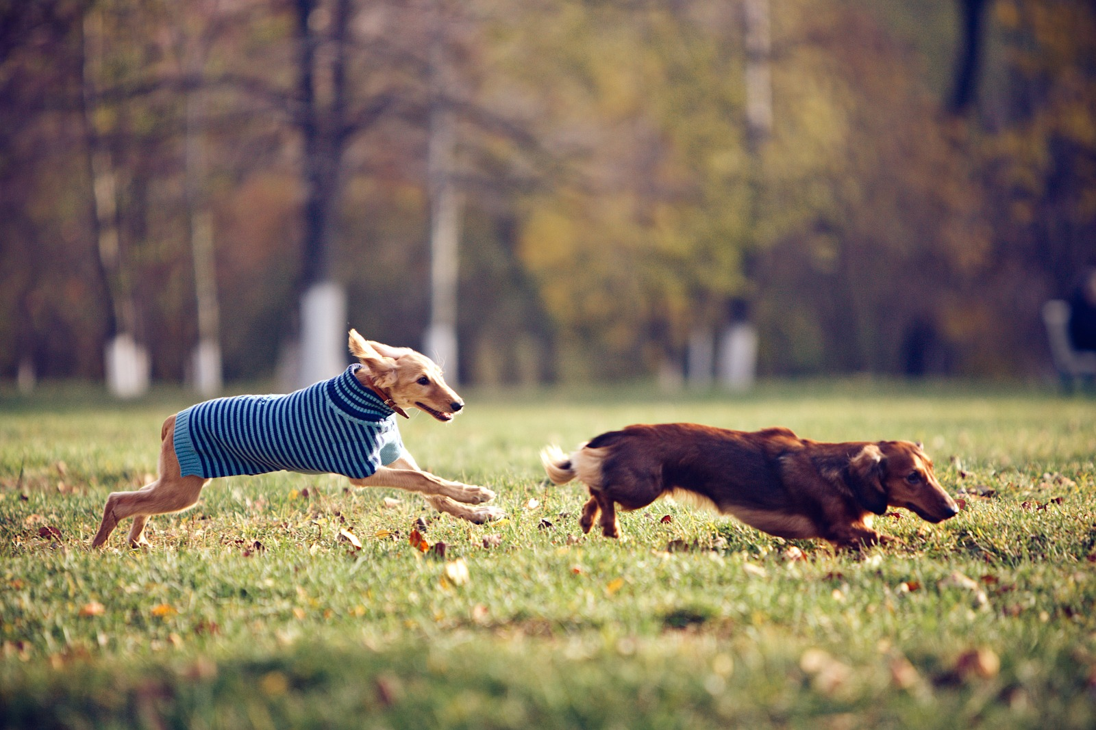 Dessi the dachshund and Tsiri the saluki is running in a park
