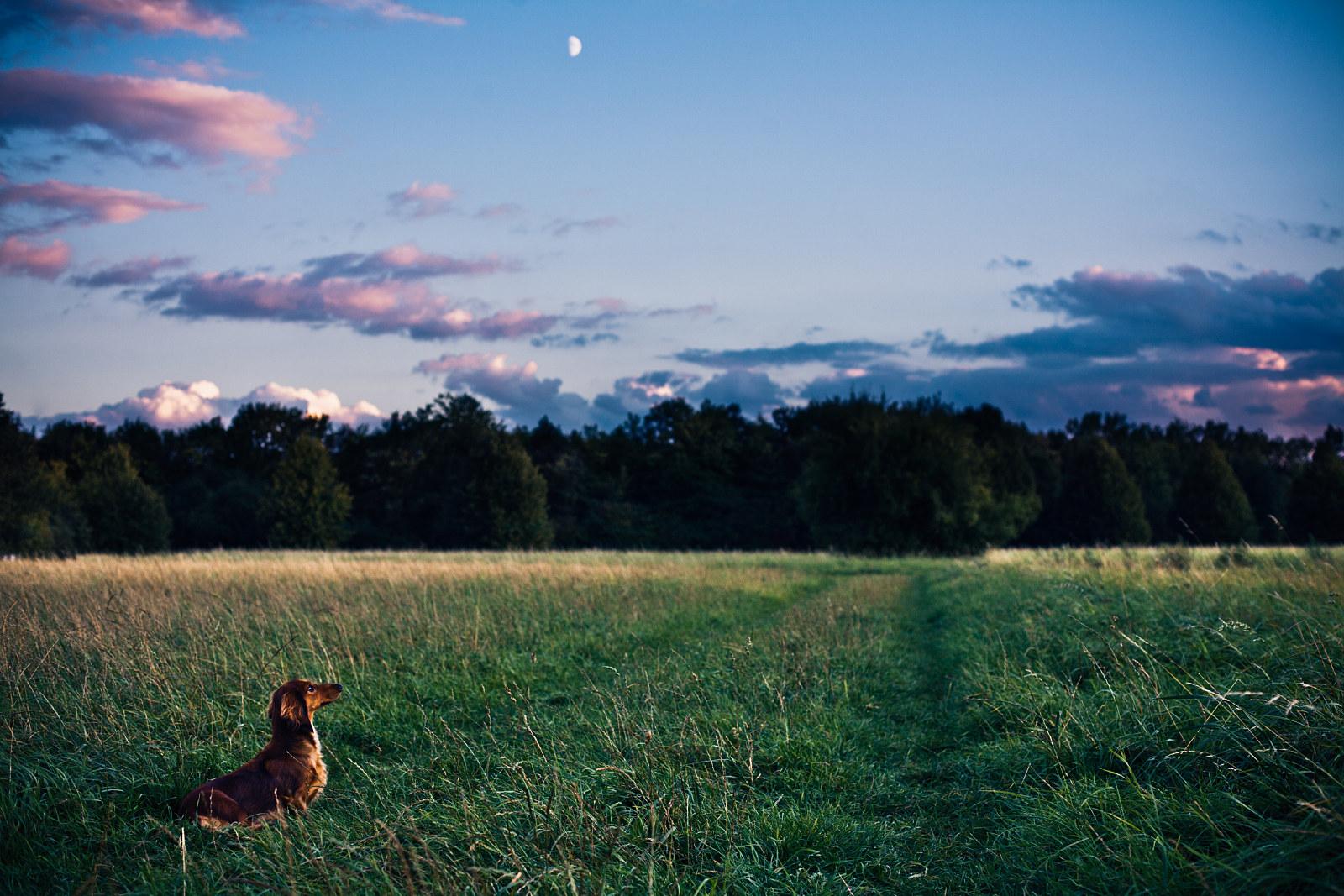 Twilight dachshund