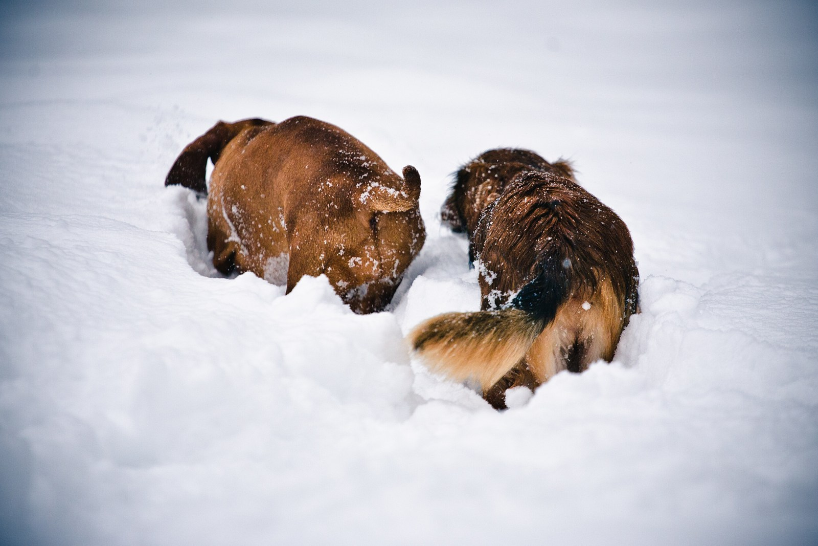 Dachshunds Dessi and Nita in snow