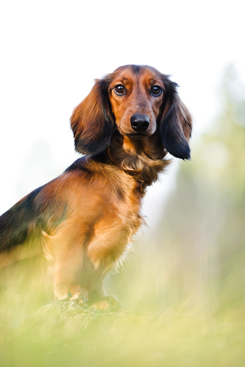 Dessi the dachshund