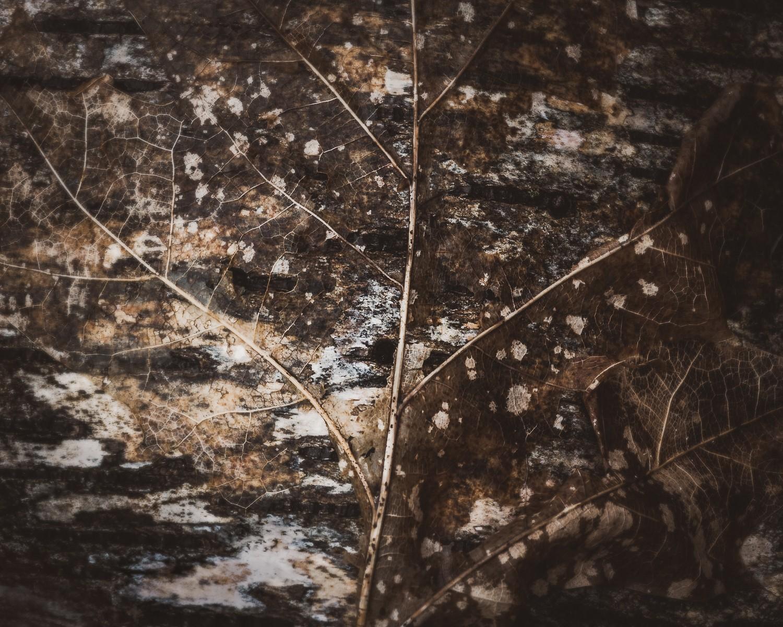 Decayed leaf on birch bark