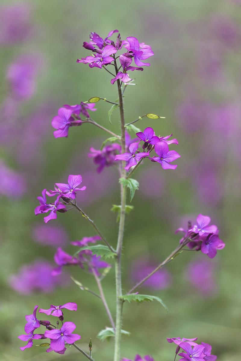 Annual honesty flower