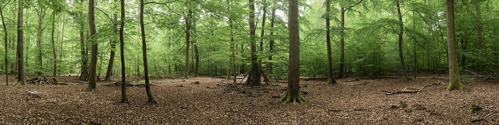 Spring forest panorama