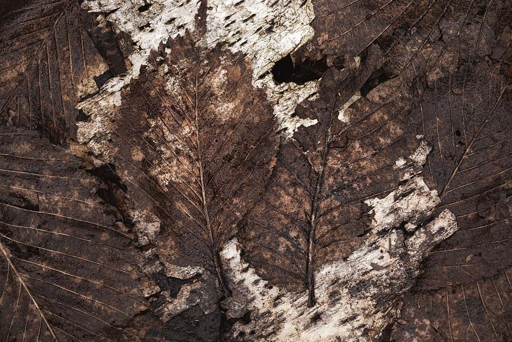 Leaves on birch bark