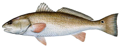 Red Drum Fish Florida