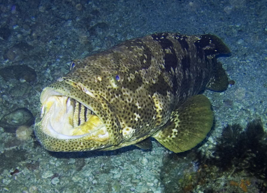 Grouper Fish Florida