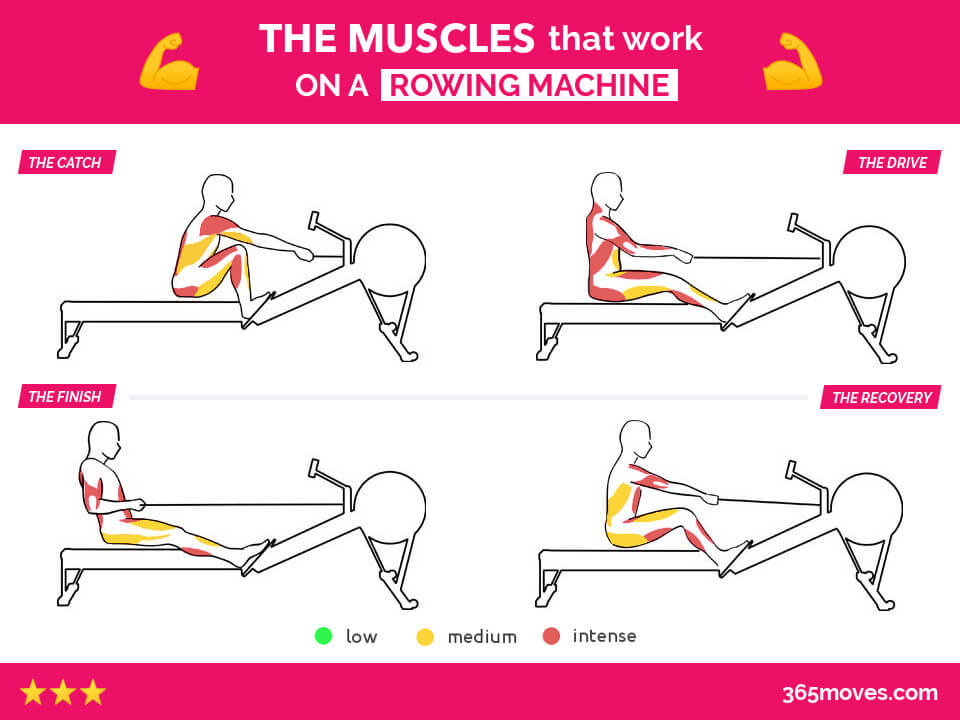 muscles that work on rowing machine for each position