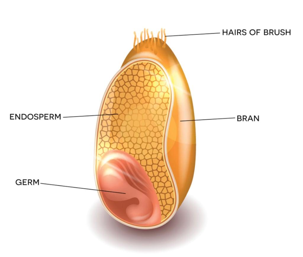 אנדוספרם Endosperm