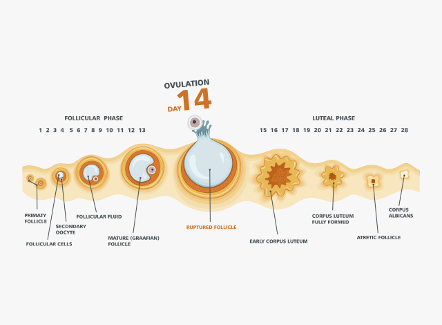 All You Need to Know About Your Ovulation Cycle