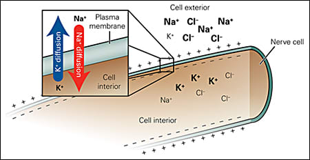Image: Basics of nerve activity: Upon stimulation of nerve cells, potassium and sodium ions follow their concentration gradient from high to low. Potassium ions leave the cell and sodium ions enter the cell.