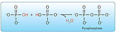 Pyrophosphate: Two phosphate groups combine to form pyrophosphate.