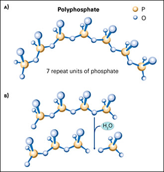 Image: SHMP hydrolysis: (A) SHMP is a polyphosphate created from a chain of repeating phosphate units. (B) The hydrolysis or breakdown of SHMP proceeds to single phosphate molecules, although many intermediate products are also produced.