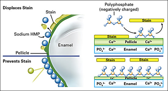 Stain removal and prevention: Negatively charged SHMP molecules displace negatively charged stain molecules from positively charged binding sites (i.e., Ca2+) in the pellicle and on tooth enamel. This both removes existing stain and helps prevent future stains from adhering.
