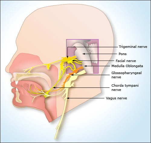 Image: Diagram of a head showing nerves.