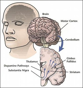 dopamine pathway for the motor system