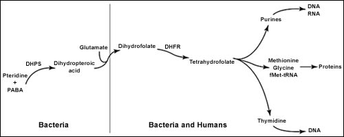 Image: Folate synthesis.