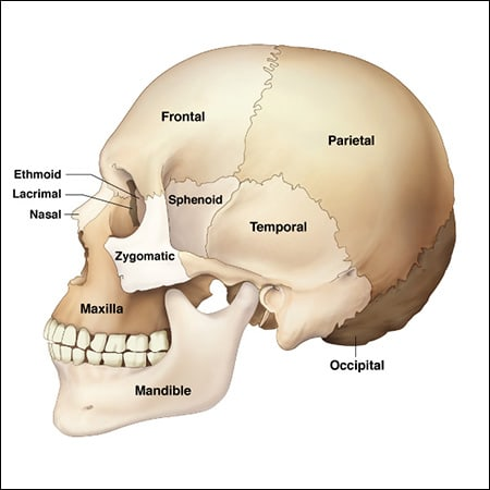 bone structure of the face an overview of dental anatomy. Black Bedroom Furniture Sets. Home Design Ideas