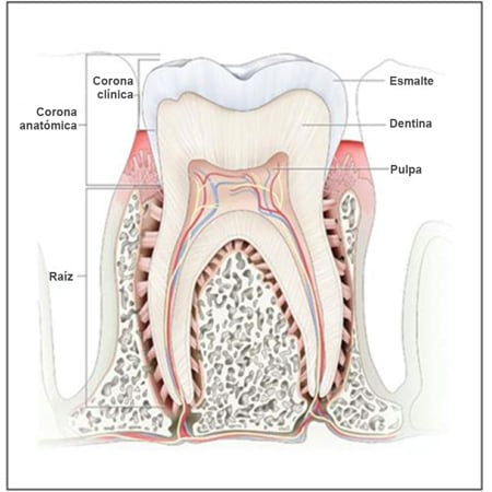basic tooth anatomy