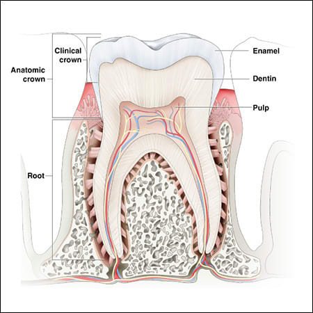 Divisions and Components of the Teeth | An Overview of Dental