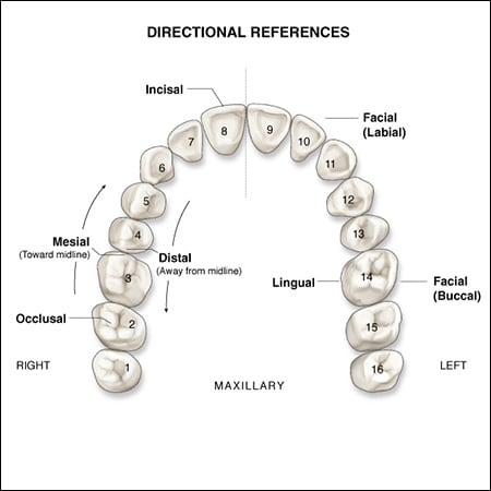 surfaces of the teeth