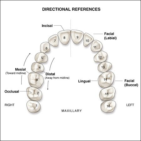 Surfaces of the Teeth | An Overview of Dental Anatomy