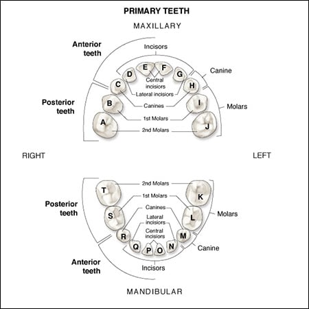 primary dentition