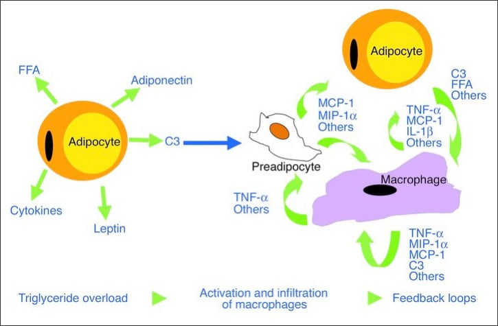 Diagram showing Adipocytes production of pro-inflammatory mediators