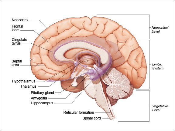 Diagram showing the positions of the three functional levels of the CNS are such that a higher level can override a lower level of the brain.