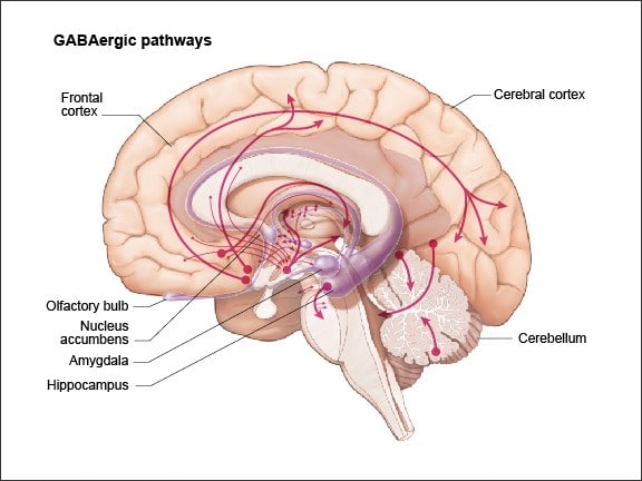 Diagram showing  GABAergic neurons are found throughout the brain - most highly concentrated in the substantia nigra and globus pallidus of the basal ganglia, the cerebellum, the hypothalamus, interneurons throughout the brain, the periaqueductal gray, and the spinal cord.