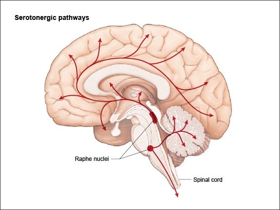Diagram showing Serotonergic neurons arise in the raphe nuclei and project to the limbic system, the basal ganglia; and via the basal forebrain, to the cerebral hemispheres as well as the cerebellum and the spinal cord.