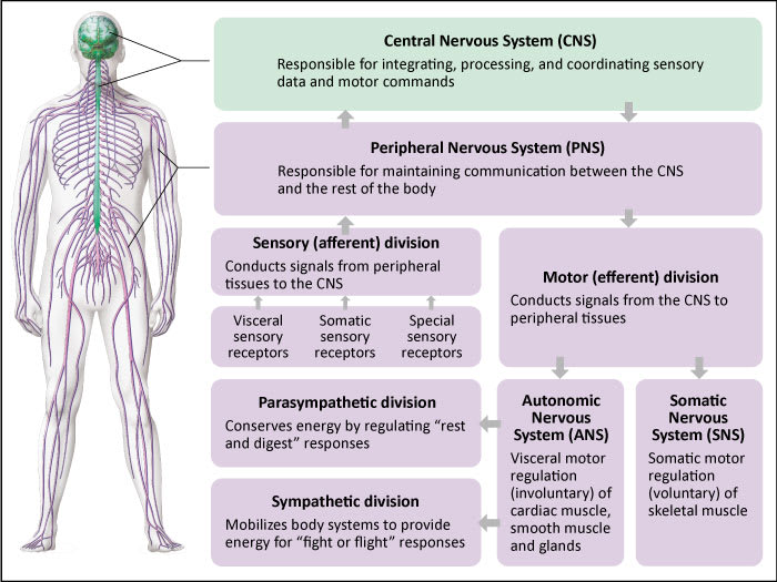 Diagram showing the 2 major components of the nervous system.