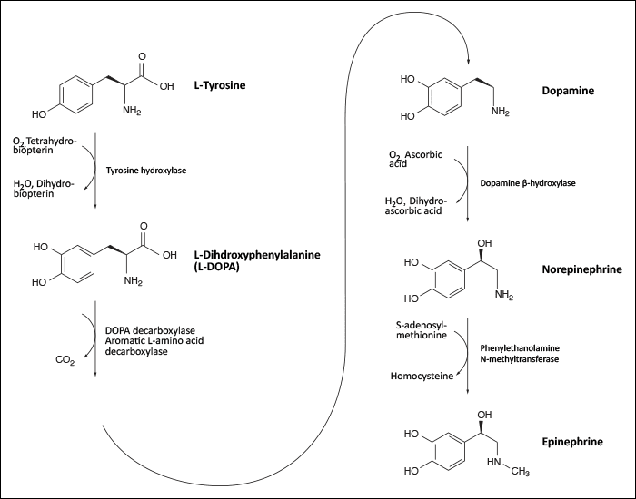 Diagram showing the The synthesis of catecholamines.