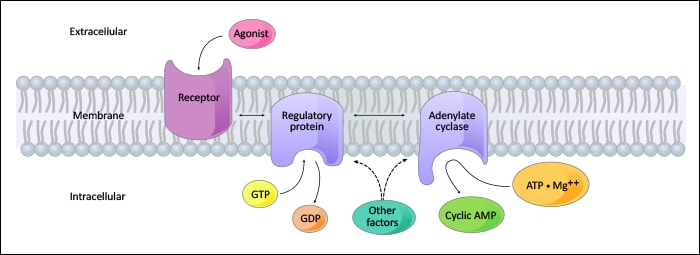 Schematic representation of agonist-Gs regulatory protein interaction.