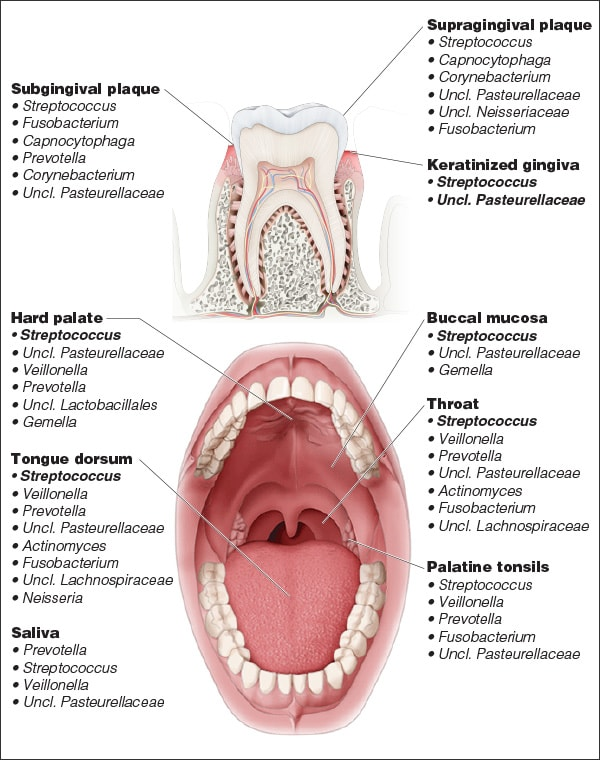Diagram showing the microbial diversity in the oral cavity