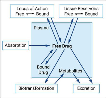 To elicit an effect on its target, a drug must be absorbed and then distributed to its binding site before being metabolized and excreted