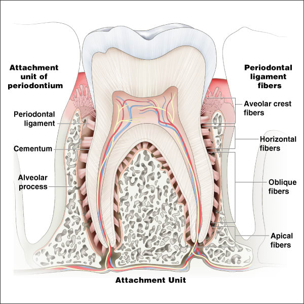 https://res.cloudinary.com/mtree/image/upload/f_auto,q_auto,f_jpg,fl_attachment:ce592-fig02-Peridontal-ligaments/dentalcare/%2F-%2Fmedia%2Fdentalcareus%2Fprofessional-education%2Fce-courses%2Fcourse0501-0600%2Fce592%2Fimages%2Fce592-fig02-peridontal-ligaments.jpg%3Fh%3D600%26la%3Den-us%26w%3D600%26v%3D1-201907251229?h=600&la=en-US&w=600