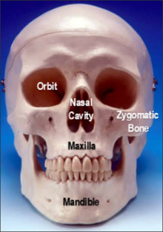 A photo of a skull labeled with its anatomical parts