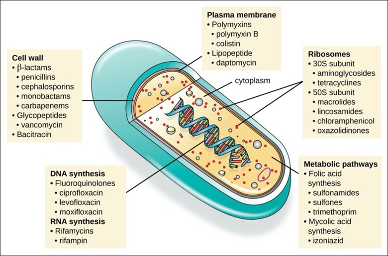 Diagram showing common antibiotic agents and their targets