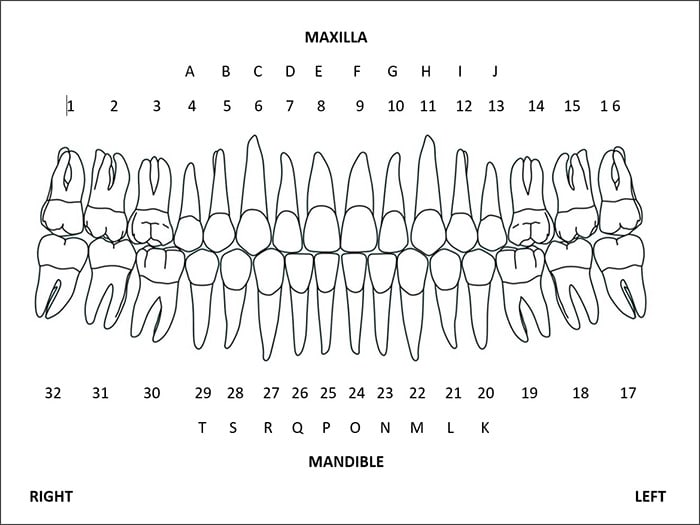 Chart showing the dentition with the universal numbering system labelled